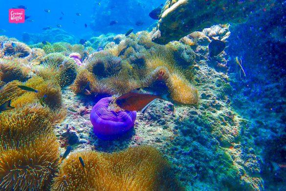 ปะการังน้ำตื้น Bruer เกาะพม่า