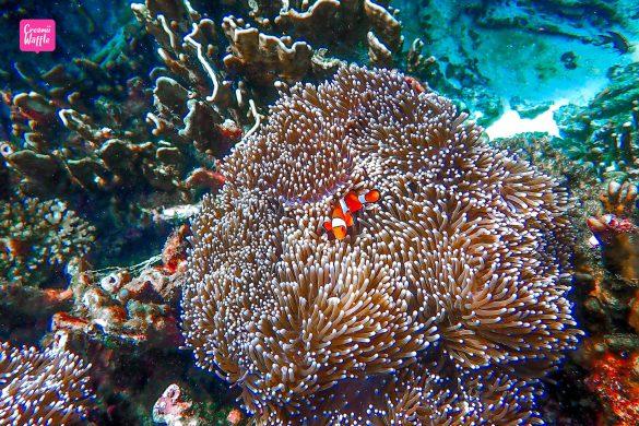 ปะการังน้ำตื้น Bruer