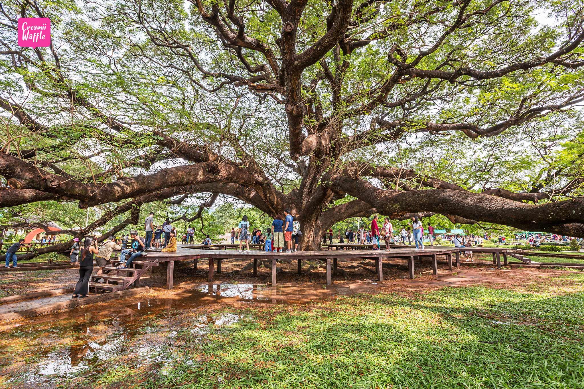 ต้นจามจุรียักษ์ ที่เที่ยว