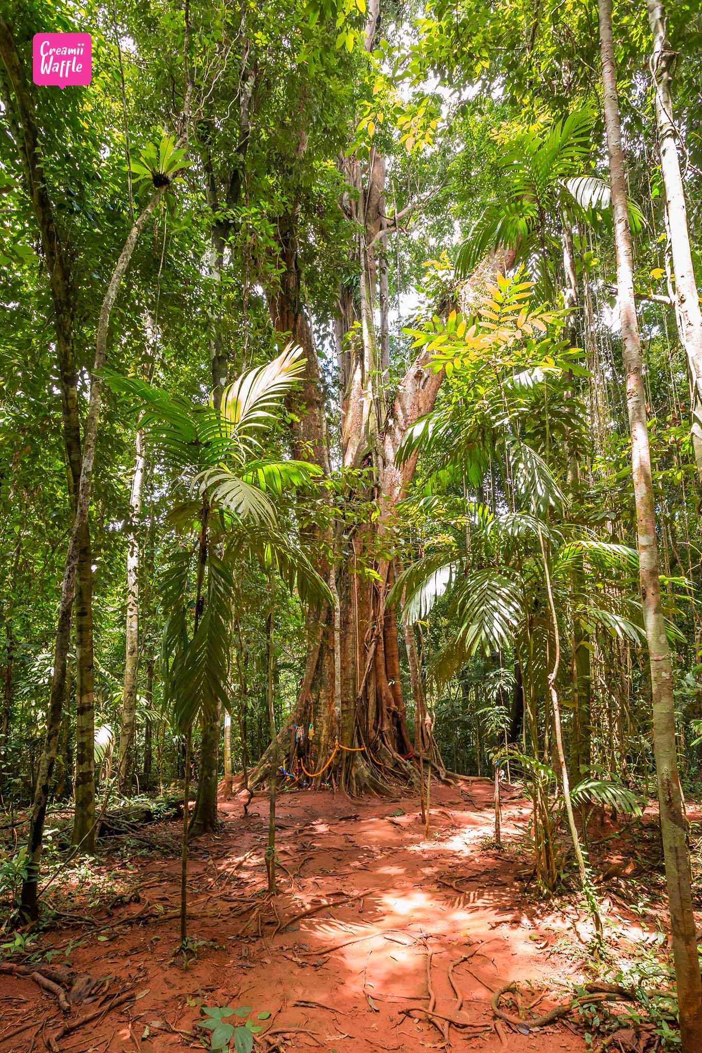 จุดเช็คอิน เกาะกูด ต้นมะค่ายักษ์
